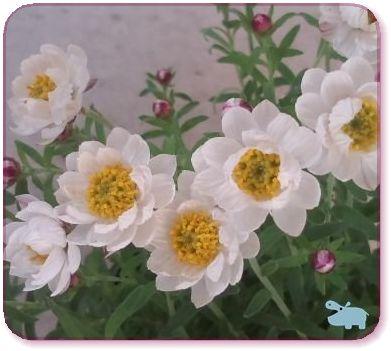 花かんざし2.jpg
